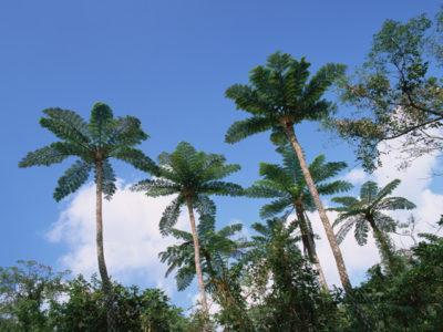 沖縄ヤシの木